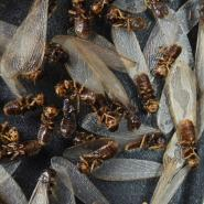swarm of brown termites with wings