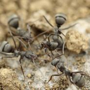 Group of ants in the dirt