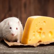 white rat with red eyes sitting next to a piece of cheese