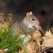 squirrel eating an acorn in the grass